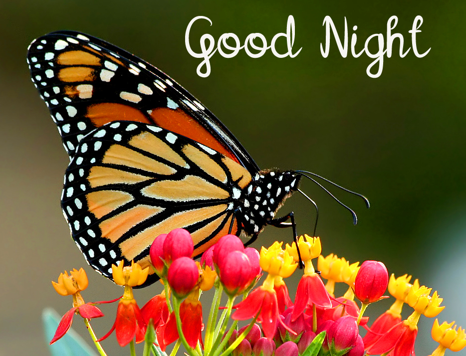 Good Night Butterfly and Colorful Flowers Pic