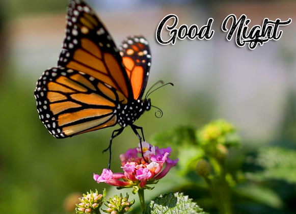Good Night Butterfly and Flower Picture