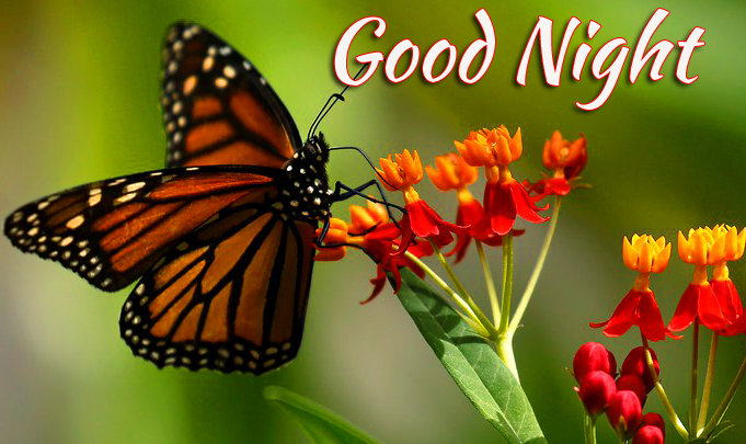 HD Butterfly Good Night Picture