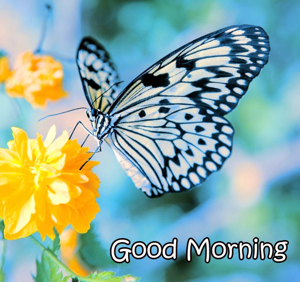 Latest Butterfly and Flowers Good Morning Image