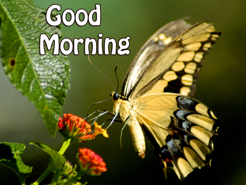 Butterfly Nature Good Morning Image