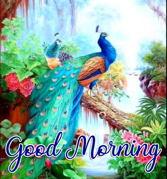 Peacock Nature Good Morning Picture