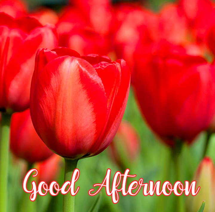 Tulips Beautiful Good Afternoon Wallpaper